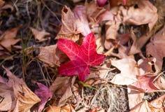 Uma folha vermelha na terra durante o outono do outono no Sul da Austrália elevado dos jardins botânicos da montagem o 16 de abri fotografia de stock