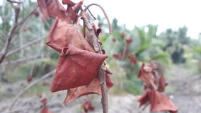 Uma folha vermelha seca Fotografia de Stock