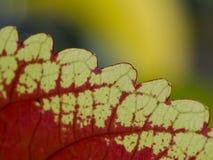 Uma folha vermelho-amarela Fotografia de Stock