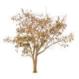 Uma forma da árvore e um ramo de árvore secos no fundo branco para o isolado o fundo Imagens de Stock Royalty Free