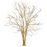 Uma forma da árvore e um ramo de árvore secos no fundo branco para o isolado o fundo Fotos de Stock Royalty Free