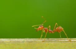 Uma formiga Fotografia de Stock Royalty Free