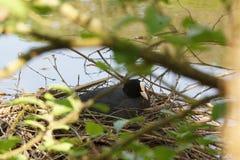 Uma formiga da galinha-d'água o ninho - vista dianteira - França Foto de Stock Royalty Free