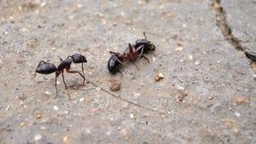 Uma formiga de carpinteiro que verifica uma outra formiga inoperante fotos de stock royalty free