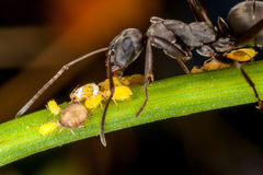 Uma formiga e afídios Fotos de Stock Royalty Free
