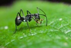 Uma formiga preta Imagens de Stock Royalty Free