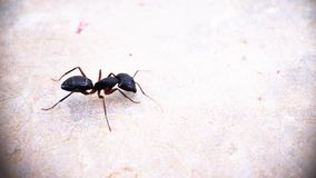 Uma formiga preta da opinião de lado do carpinteiro que move a fotografia macro ao redor isolada - lado esquerdo da foto fotos de stock