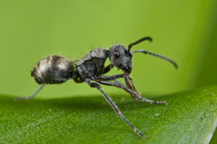Uma formiga preta minúscula Imagens de Stock