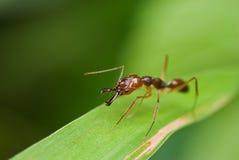 Uma formiga vermelha Fotografia de Stock Royalty Free