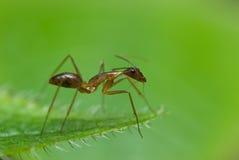 Uma formiga vermelha Fotos de Stock Royalty Free