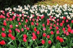 Uma foto agradável do fundo da tulipa fotos de stock royalty free