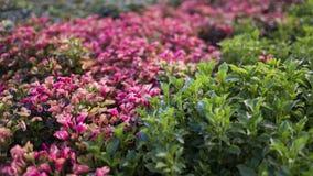 Uma foto das folhas pequenas cor-de-rosa e do roxo imagem de stock