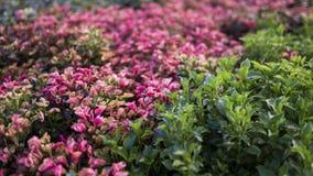 Uma foto das folhas pequenas cor-de-rosa e do roxo fotos de stock