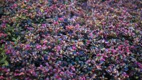 Uma foto das folhas pequenas cor-de-rosa e do roxo foto de stock