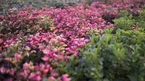 Uma foto das folhas pequenas cor-de-rosa e do roxo imagens de stock royalty free