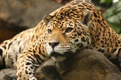 Uma foto de um jaguar masculino Foto de Stock