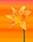 Uma foto de um lírio isolado em um fundo colorido fotografia de stock royalty free