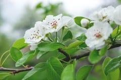 Uma foto de um ramo de uma ?rvore de pera de floresc?ncia Flores brancas de tiro macro da mola da pera imagens de stock royalty free