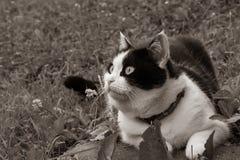 Uma foto do sepia de um gato preto e branco com olhos grandes encontra-se na grama imagem de stock royalty free