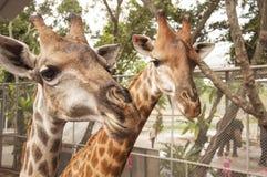 Uma foto dos girafas é feita no jardim zoológico de Tailândia Fotos de Stock Royalty Free