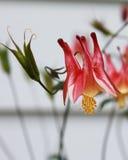 Uma foto macro de uma flor aquilégia vermelha imagens de stock