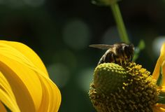 Uma foto macro que mostre um fim acima de uma abelha que poliniza uma flor amarela com um fundo bonito de uma outra flor amarela imagens de stock royalty free