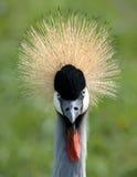 Uma fotografia full-face de um guindaste coroado cinzento Fotografia de Stock