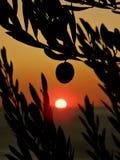 Uma fruta das oliveiras no por do sol imagem de stock royalty free
