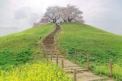 Uma fuga de caminhada que vai acima à cume com a árvore bonita de sakura floresce e prados gramíneos verdes Foto de Stock