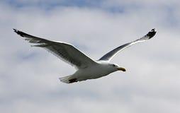 Uma gaivota Fotos de Stock Royalty Free