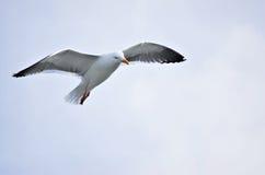Uma gaivota Foto de Stock Royalty Free