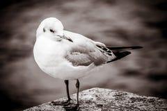 Uma gaivota imagens de stock