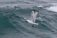 Uma gaivota adulta, Preto-equipada com pernas, tridactyla do Rissa, voando no SE fotografia de stock royalty free