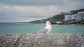 Uma gaivota anda ao longo de uma cerca de pedra filme