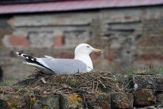 Uma gaivota bonita senta-se no ninho Fotografia de Stock