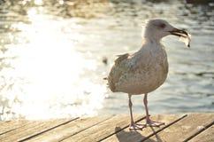 Uma gaivota com ela ` plástico do alimento do ` Os animais comem o plástico do oceano porque cheira como o alimento, e olham como imagens de stock