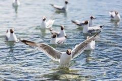 Uma gaivota com um desejo forte executar fotografia de stock