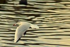 Uma gaivota comum do baixo voo fotos de stock