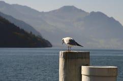 Uma gaivota curiosa em um descornado imagem de stock