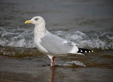Uma gaivota de arenques que está na ressaca imagem de stock