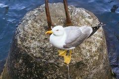 Uma gaivota de mar em uma rocha Fotos de Stock Royalty Free