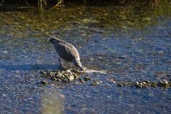 Uma gaivota de miado adolescente (canus do larus) alimenta em uma carcaça salmon desovada Fotografia de Stock