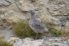 Uma gaivota do bebê imagens de stock royalty free