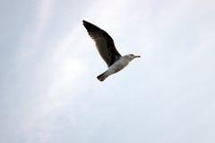 Uma gaivota do voo Fotos de Stock