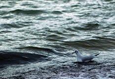 Uma gaivota está montando a onda fotografia de stock
