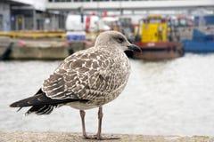 Uma gaivota grande de prata nova, argentatus do Larus, anda ao longo de uma cerca de pedra no porto entre barcos e navios longos  imagem de stock royalty free