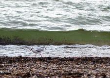 Uma gaivota na frente de uma onda foto de stock