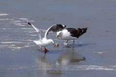 Uma gaivota obteve um escudo, mas outra, gaivota menor era mais rápida fotos de stock royalty free