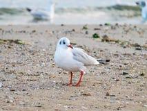 Uma gaivota pequena fica na areia Imagem de Stock Royalty Free
