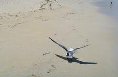 Uma gaivota pronta para voar Imagens de Stock Royalty Free